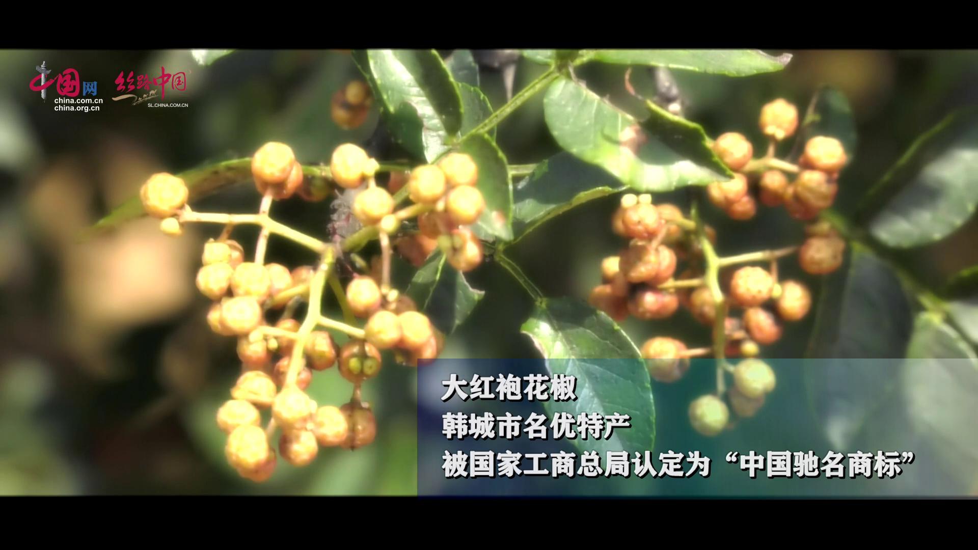韩城:八月 椒园飘香